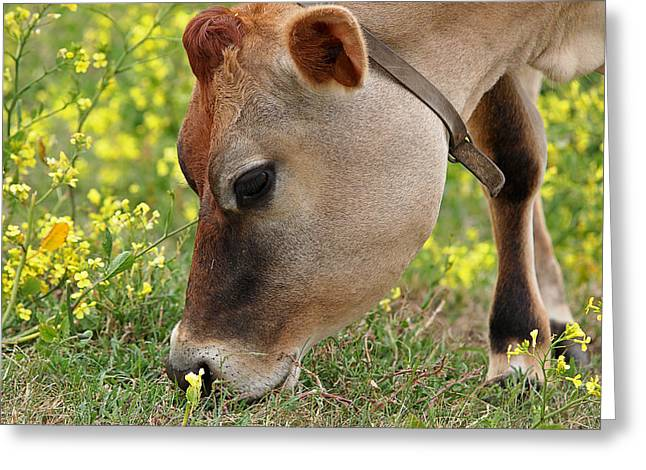 Dairy Farmers And Farming Greeting Cards - Jersey Cow Cute Close Up - Horizontal Greeting Card by Gill Billington