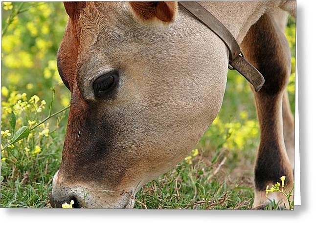 Dairy Farmers And Farming Greeting Cards - Jersey Cow  Cute Close Up - Square Greeting Card by Gill Billington