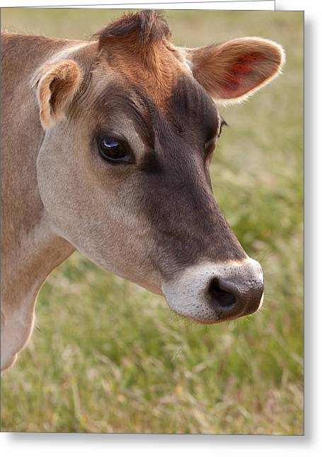 Cows Greeting Cards - Jersey Cow Portrait Greeting Card by Michelle Wrighton