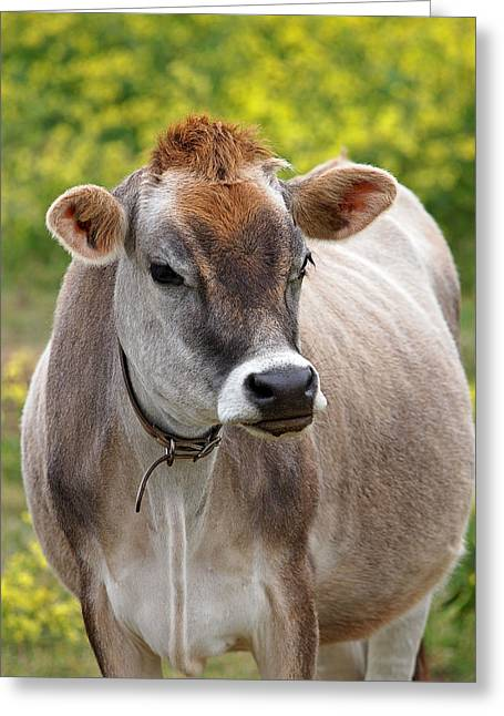 Dairy Farmers And Farming Greeting Cards - Jersey Cow With Attitude - Vertical Greeting Card by Gill Billington