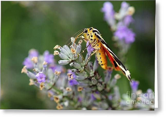 Eating Entomology Greeting Cards - Jersey Tiger Moth On Lavender Flowers Greeting Card by Colin Varndell