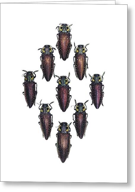 Jewellery Greeting Cards - Jewel beetles Greeting Card by Science Photo Library
