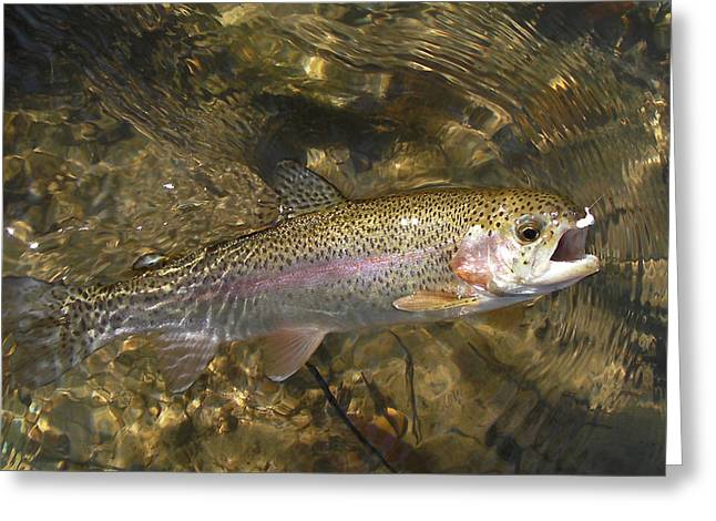 Rainbow Trout Greeting Cards - Jewel Greeting Card by Phil Rispin