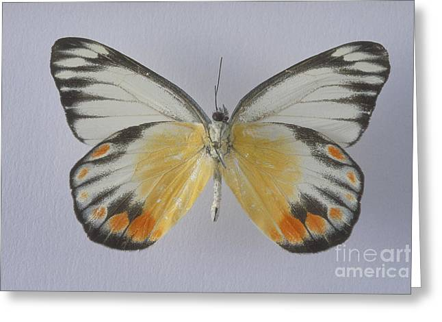 Underside Greeting Cards - Jezebel Butterfly Greeting Card by Barbara Strnadova