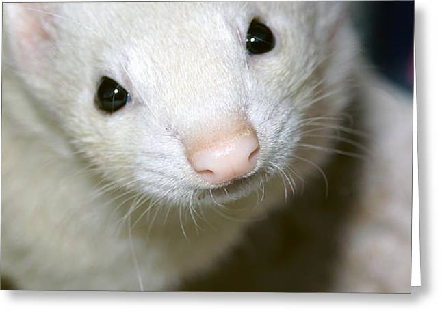 White Ferret Greeting Cards - Jezebel Greeting Card by Cassandra Buckley
