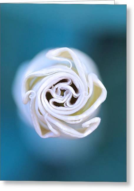 Jimson Weed Greeting Cards - Jimson Weed Bloom Greeting Card by Alan Olansky