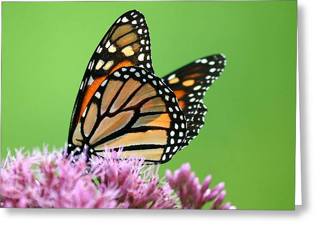 Flower Photos Greeting Cards - Joe Pye Monarch Pollination Greeting Card by Neal  Eslinger