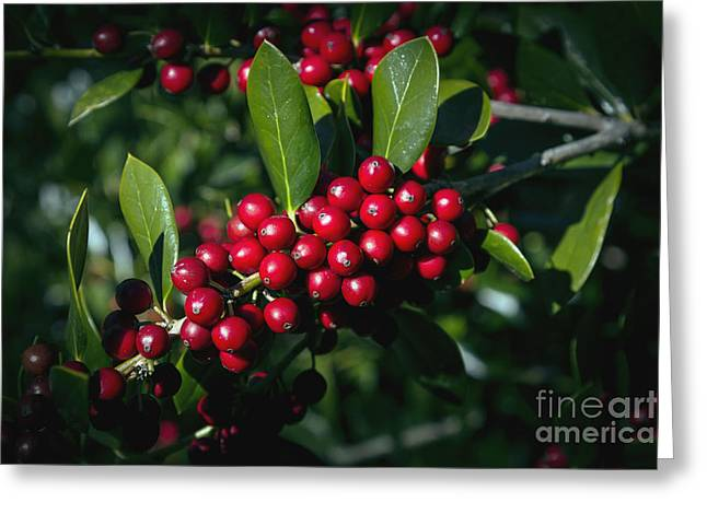Berries Framed Prints Greeting Cards - Jolly Holly Greeting Card by Michael Waters