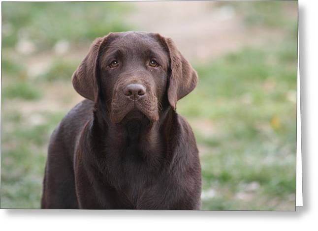 Chocolate Lab Greeting Cards - JonJon Greeting Card by Betty Baker