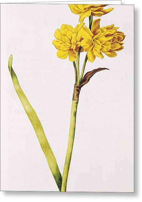 Floral Posters Greeting Cards - Jonquil Greeting Card by Nicolas Robert