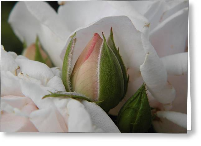 Marijo Fasano Greeting Cards - Josephs Coat Rose Greeting Card by Marijo Fasano