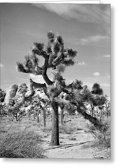 Square Format Greeting Cards - Joshua Tree Greeting Card by Alex Snay