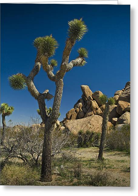 Roadway Greeting Cards - California Joshua Trees in Joshua Tree National Park by the Mojave Desert Greeting Card by Randall Nyhof