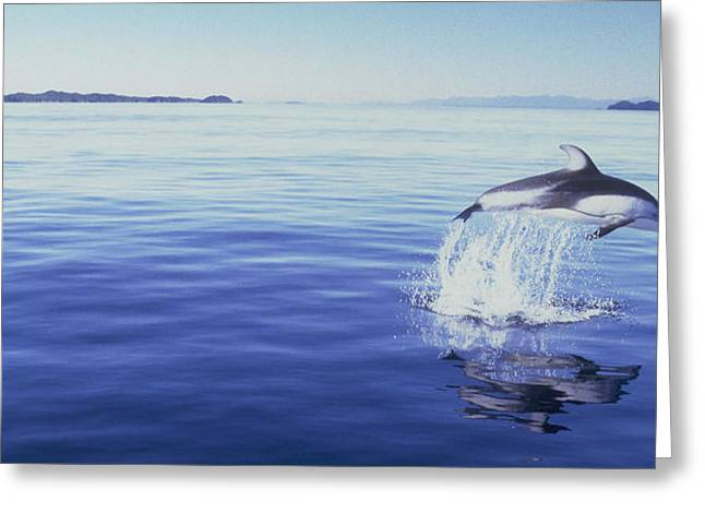 Solitary Activities Greeting Cards - J.puddifoot Pacific White Sided Dolphin Greeting Card by Jason Puddifoot