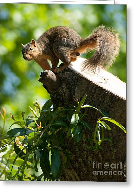 Eastern Fox Squirrel Greeting Cards - Jump Greeting Card by Optical Playground By MP Ray