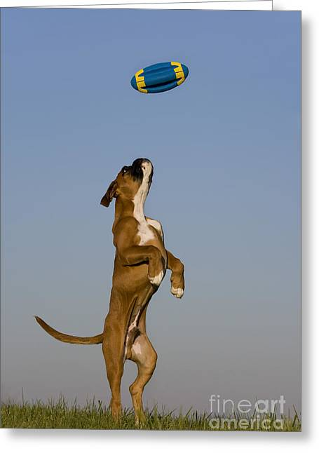 Dog At Play Greeting Cards - Jumping Boxer Puppy Greeting Card by Jean-Louis Klein and Marie-Luce Hubert