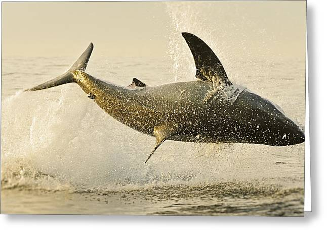 Jumping Great White No 1 Greeting Card by Andy-Kim Moeller