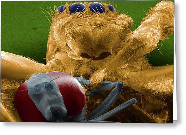 Jumping Spider Catching Prey Greeting Card by Thierry Berrod, Mona Lisa Production