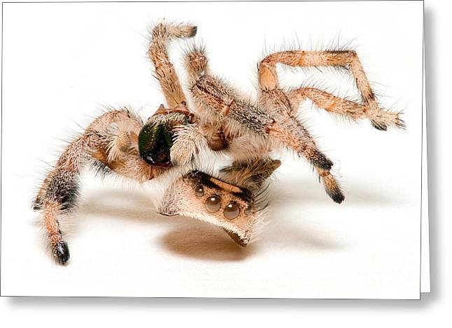 Empty Eyes Greeting Cards - Jumping Spider Exoskeleton Greeting Card by Scott Linstead