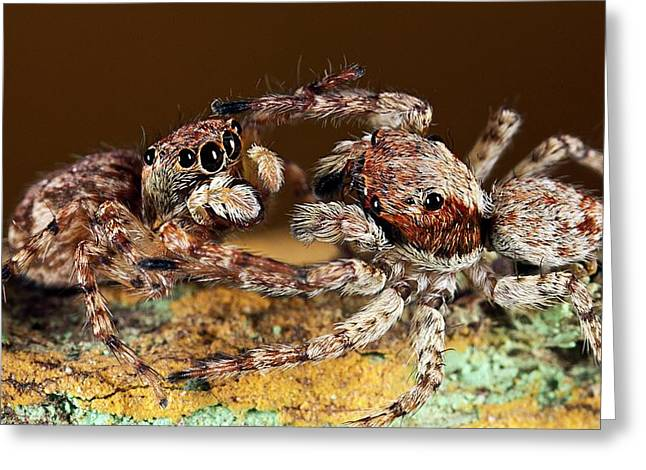Jumping Spiders Greeting Card by Nicolas Reusens