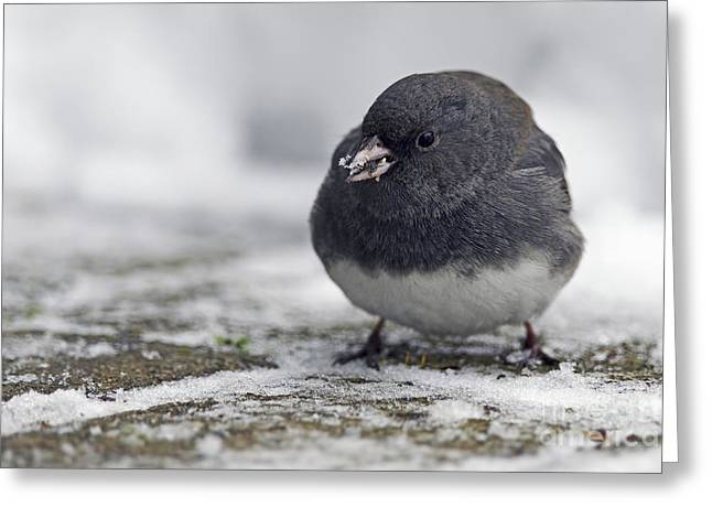 Snow On The Ground Greeting Cards - Junco in the Snow with Seeds Greeting Card by Sharon  Talson