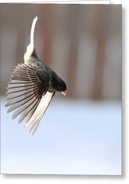 Feeder Framed Prints Greeting Cards - Junco Wing Dive Greeting Card by Diane V Bouse