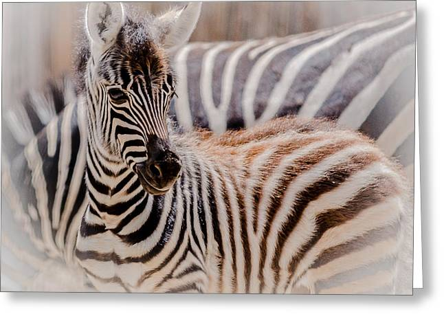 Zebra Colt Greeting Cards - June Baby Greeting Card by Yeates Photography