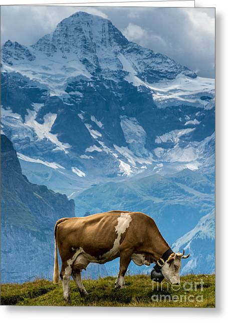 Swiss Greeting Cards - Jungfrau Cow - Grindelwald - Switzerland Greeting Card by Gary Whitton