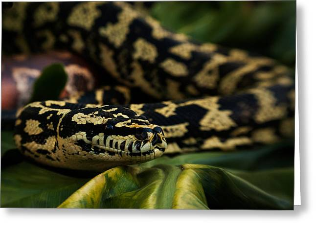 Gift Ideas For Him Greeting Cards - Jungle carpet python Greeting Card by Sammy Miller