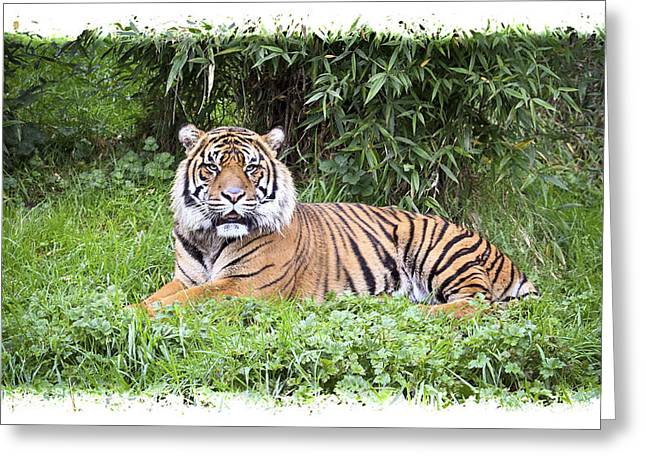 Growling Greeting Cards - Jungle Cat Greeting Card by Steve McKinzie