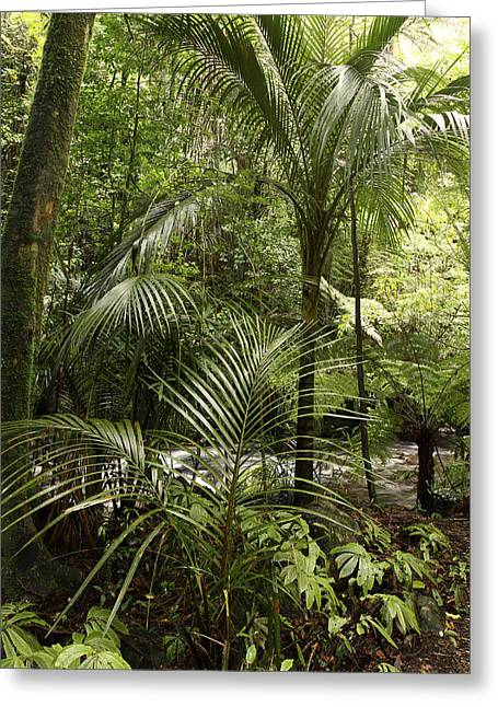 Tropical Photographs Greeting Cards - Jungle ferns Greeting Card by Les Cunliffe