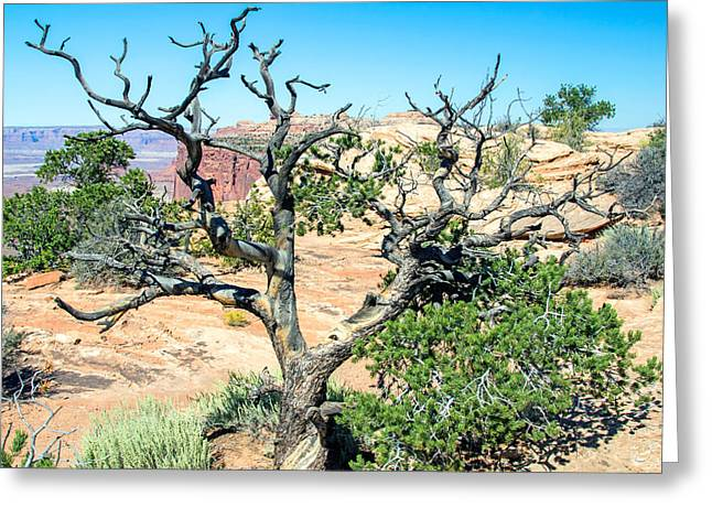Slickrock Greeting Cards - Juniper Bushes Greeting Card by Nicholas Blackwell
