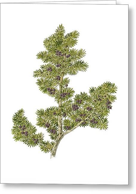 Nana Greeting Cards - Juniper (Juniperus communis nana) Greeting Card by Science Photo Library