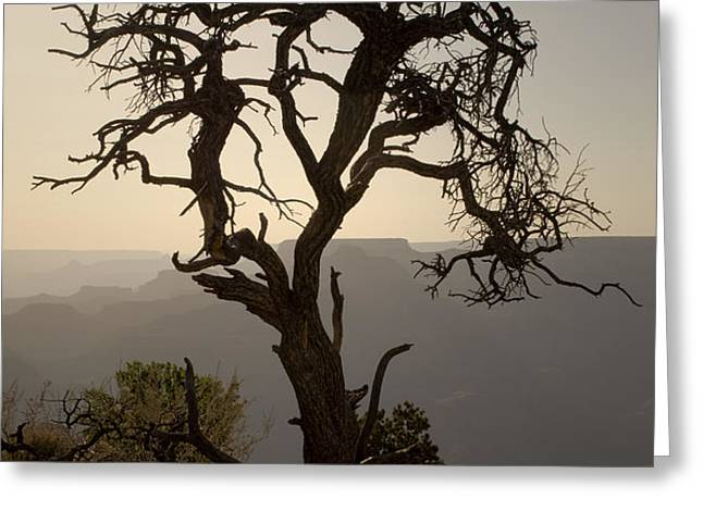 Juniper Tree at Grand Canyon Greeting Card by David Gordon