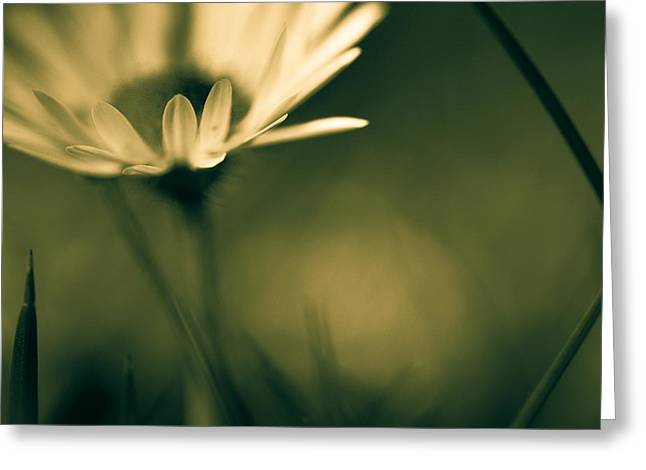 Getty Greeting Cards - Just A Little Daisy Greeting Card by Constance Fein Harding