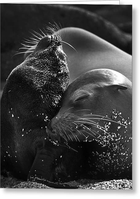 Sea Lions Greeting Cards - Just A Little Lower Mom Greeting Card by Gary Hall