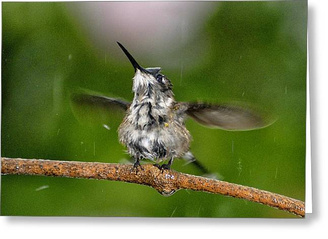 Archilochus Colubris Greeting Cards - Just a Sittin in the Rain Greeting Card by Betty LaRue