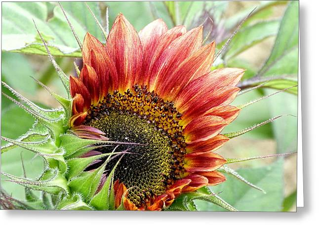 Sunflower Patch Greeting Cards - Just About Greeting Card by Lou Sisneros