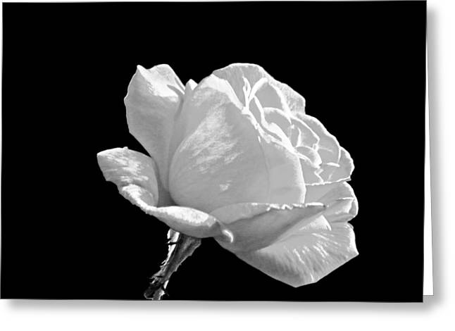 Rose Highlights Greeting Cards - Just a Rose Greeting Card by Roger  Booton