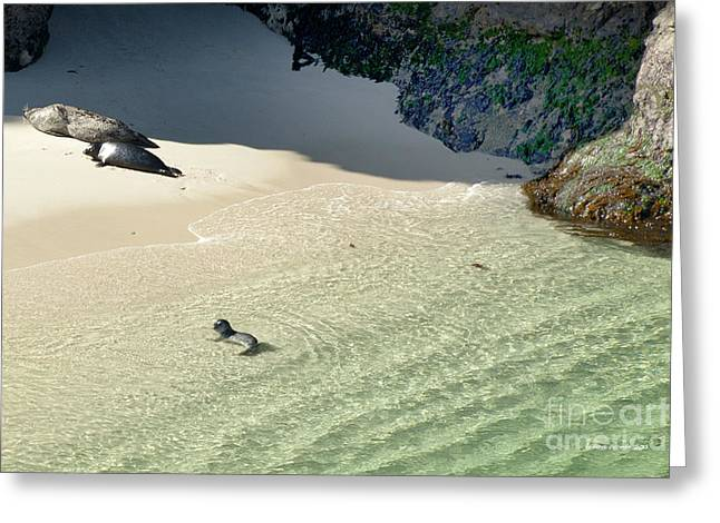 Sea Lion Birthing Grounds Greeting Cards - Just Born Baby Sea Lion Pup with Mom and Dad Napping on the Beach Greeting Card by Artist and Photographer Laura Wrede