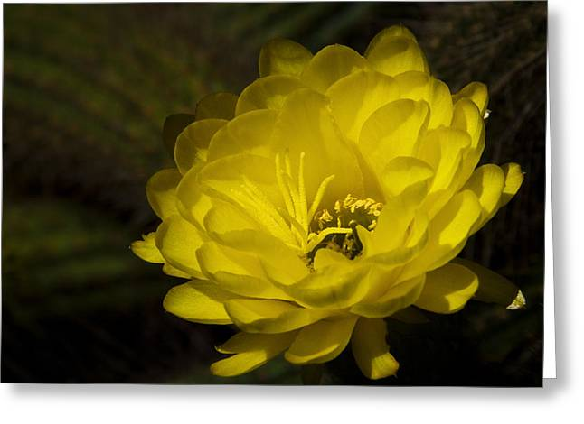 Torch Cactus Greeting Cards - Just Call Me Mellow Yellow  Greeting Card by Saija  Lehtonen