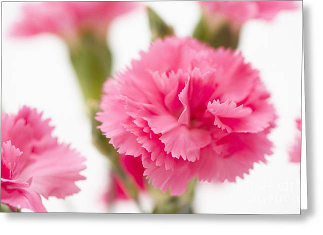 Close Focus Floral Greeting Cards - Just Carnations Greeting Card by Anne Gilbert