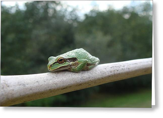 Pacific Tree Frog Greeting Cards - Just Chillin Greeting Card by Cheryl Hoyle