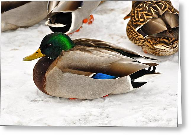 Just Ducky Greeting Card by Catherine Renzini