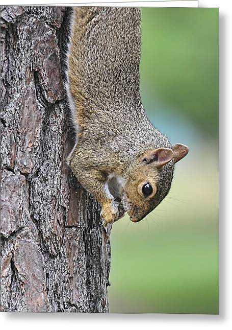 Sciurus Carolinensis Greeting Cards - Just Hangin Around Greeting Card by Lara Ellis