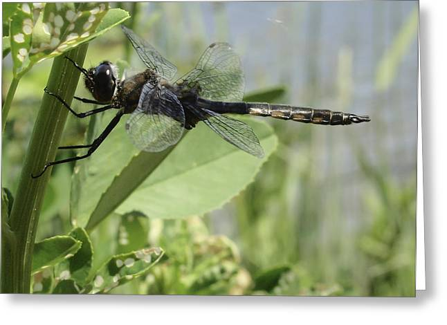 Dragonfly Macro Greeting Cards - Just Hanging Around Greeting Card by Thomas Young