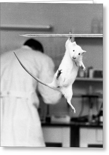 Science And Medicine Greeting Cards - Just Hanging Lab Rat Greeting Card by Underwood Archives