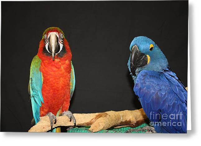 Macaw Art Print Greeting Cards - Just Hanging Out Greeting Card by John Telfer