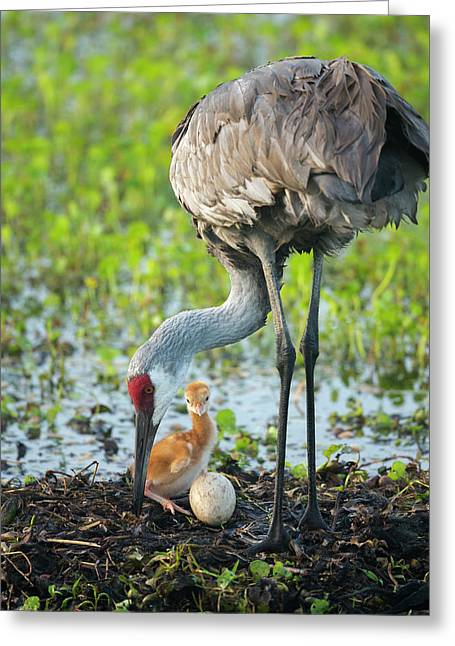 Just Hatched, Sandhill Crane Rotating Greeting Card by Maresa Pryor