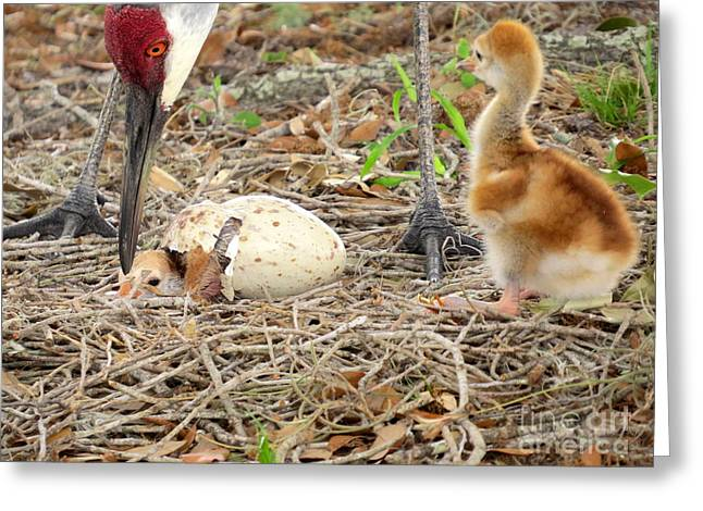 Sandhill Crane Greeting Cards - Just hatching Greeting Card by Zina Stromberg